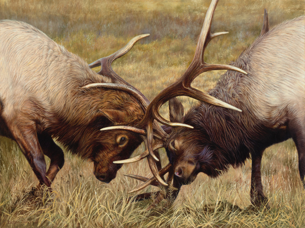 """""""Battle of The Bulls"""" Winner of the """"Rocky Mountain Elk Foundation Featured Artist"""" for 2020 - 30""""x 40"""" Oil on Linen, Original Available"""